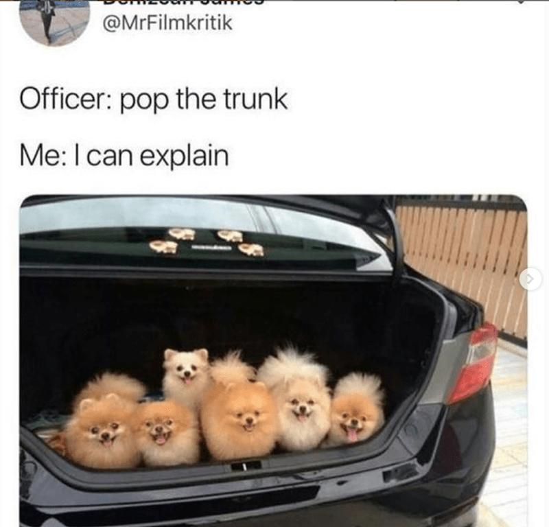 Pomeranian - @MrFilmkritik Officer: pop the trunk Me: I can explain