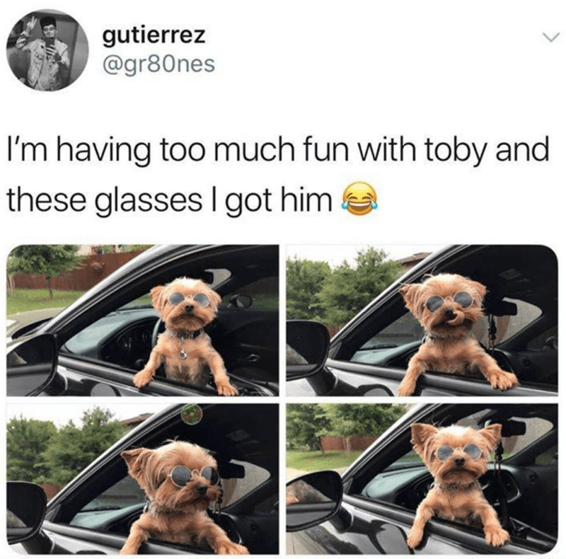 Canidae - gutierrez @gr80nes I'm having too much fun with toby and these glasses I got him