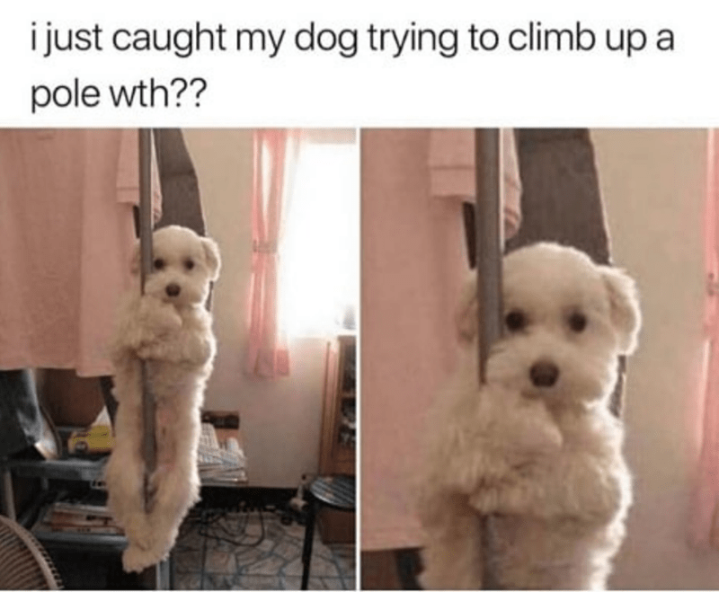 Dog - i just caught my dog trying to climb up a pole wth??