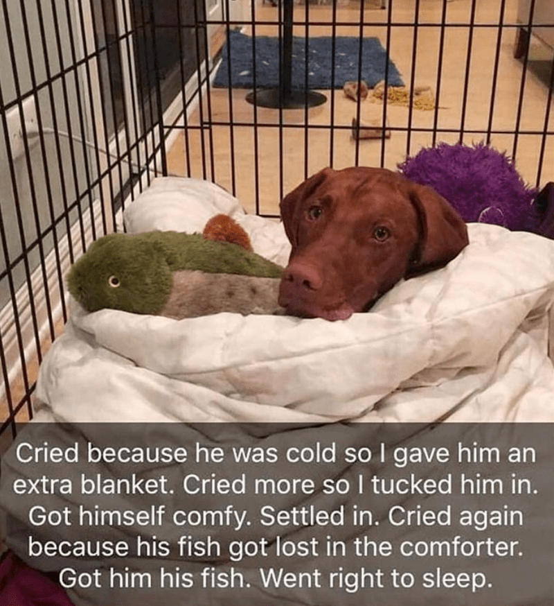 Dog - Cried because he was cold soI gave him an extra blanket. Cried more so I tucked him in. Got himself comfy. Settled in. Cried again because his fish got lost in the comforter. Got him his fish. Went right to sleep.