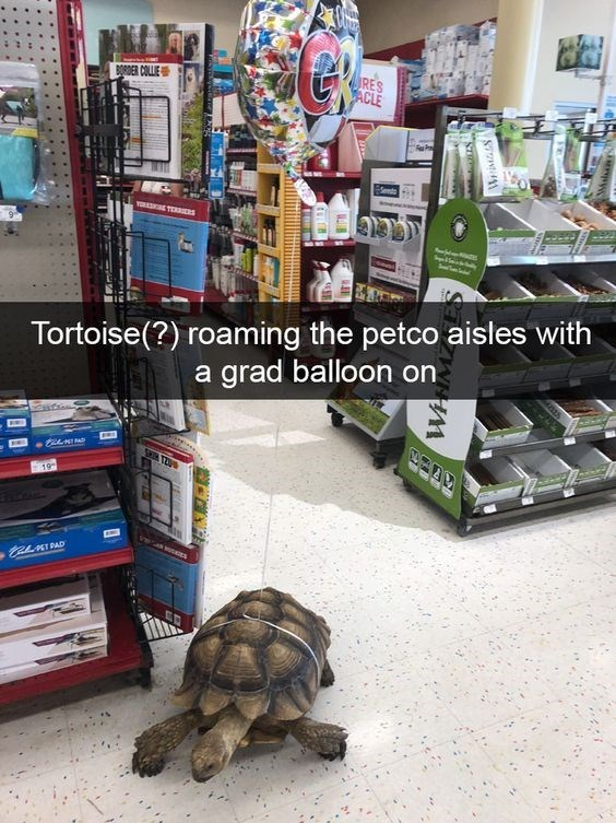 Tortoise - RES PACLE ORDER COLLIE YOKSONE TEI Tortoise(?) roaming the petco aisles with a grad balloon on SH T2U 19 ALKIDAD WIMZ