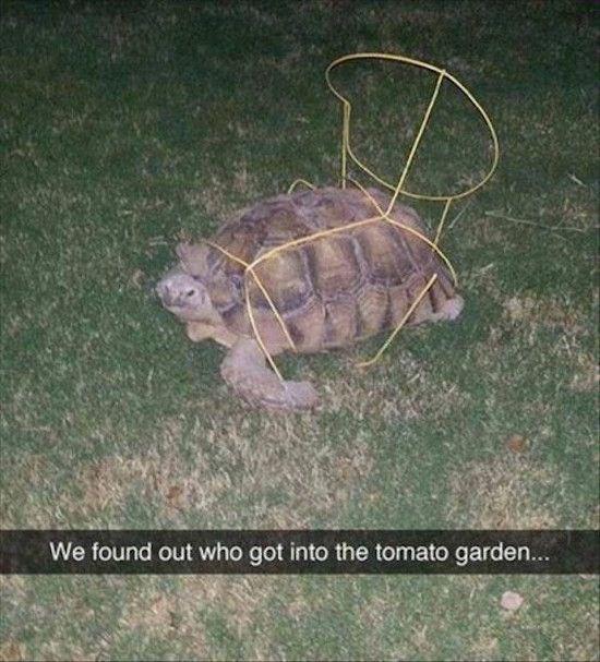 Tortoise - We found out who got into the tomato garden...