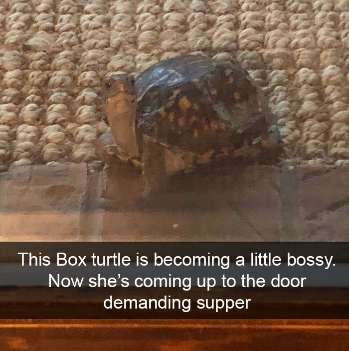 Tortoise - This Box turtle is becoming a little bossy. Now she's coming up to the door demanding supper