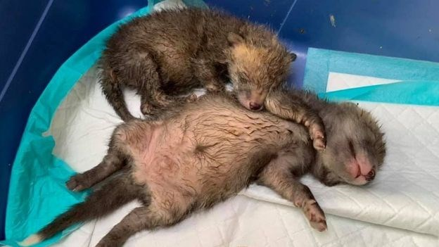 Fox Cubs Rescued By Emergency C-Section