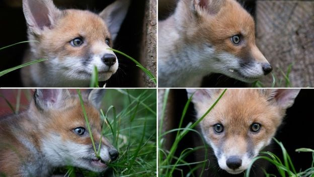 fox surgery - Mammal