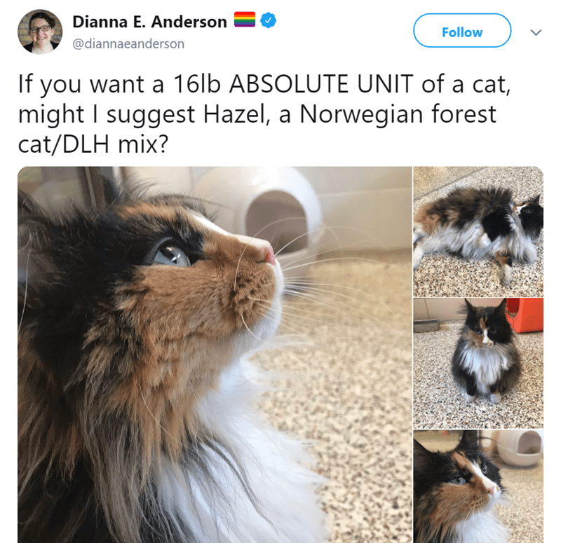 Cat - Dianna E. Anderson Follow @diannaeanderson If you want a 16lb ABSOLUTE UNIT of a cat, might I suggest Hazel, a Norwegian forest cat/DLH mix?