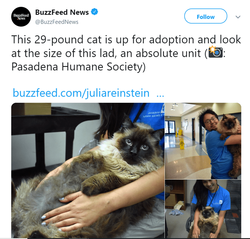 Cat - BagzaRed BuzzFeed News Vews Follow @BuzzFeedNews This 29-pound cat is up for adoption and look at the size of this lad, an absolute unit (): Pasadena Humane Society) buzzfeed.com/juliareinstein pasadena mane society&