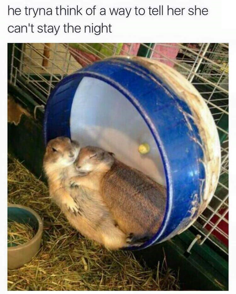 Sex meme, hamsters sleeping together, text reads that he trna think of a way to tell her she can't stay the night.