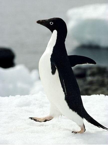 Funny classic meme - Awkward Penguin
