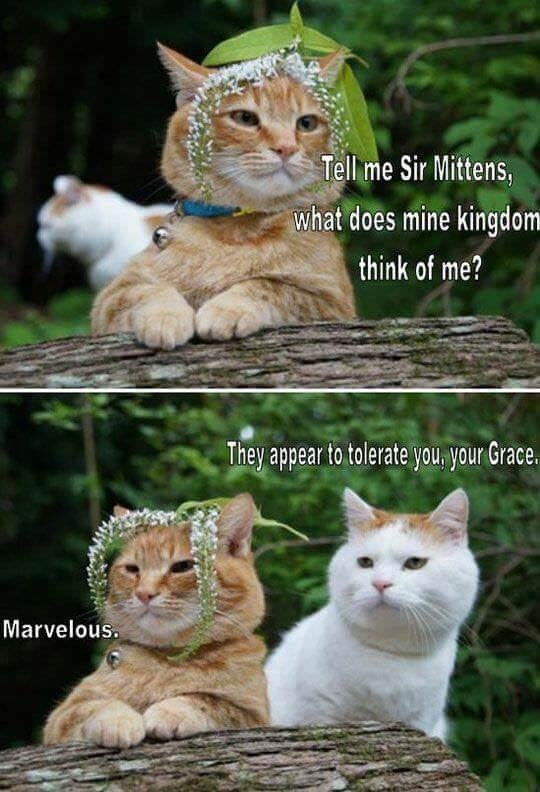 funny meme - Cat - Tell me Sir Mittens, what does mine kingdom think of me? They appear to tolerate you your Grace. Marvelous
