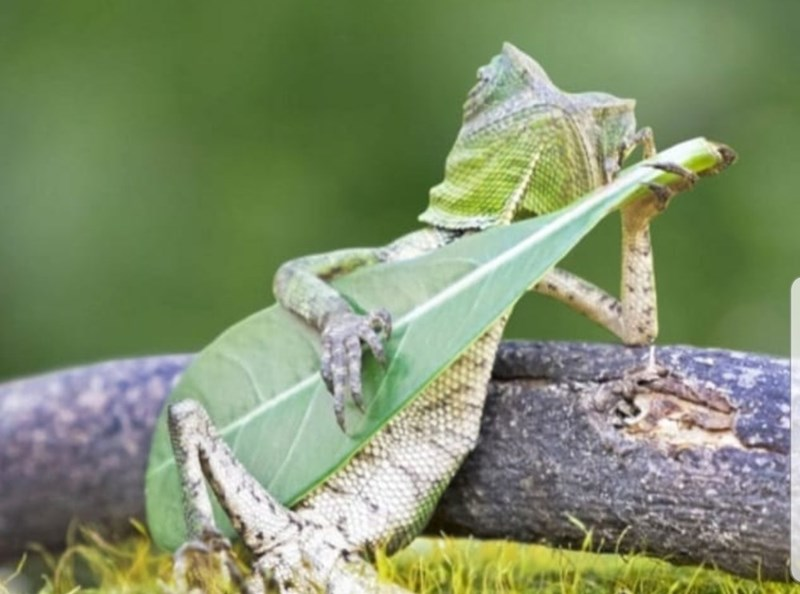 Funny photo of a gecko holding a leaf that looks like a guitar
