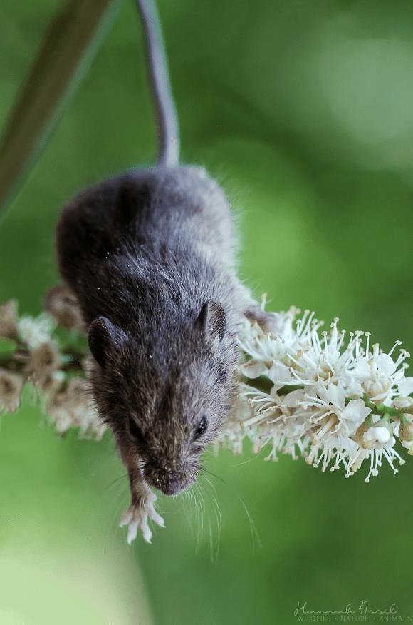 Muridae - Hannh Haril WILDLIFE NATURE ANIMALS