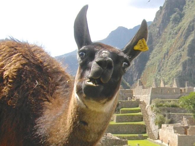 llama derp - Llama - Kapdys