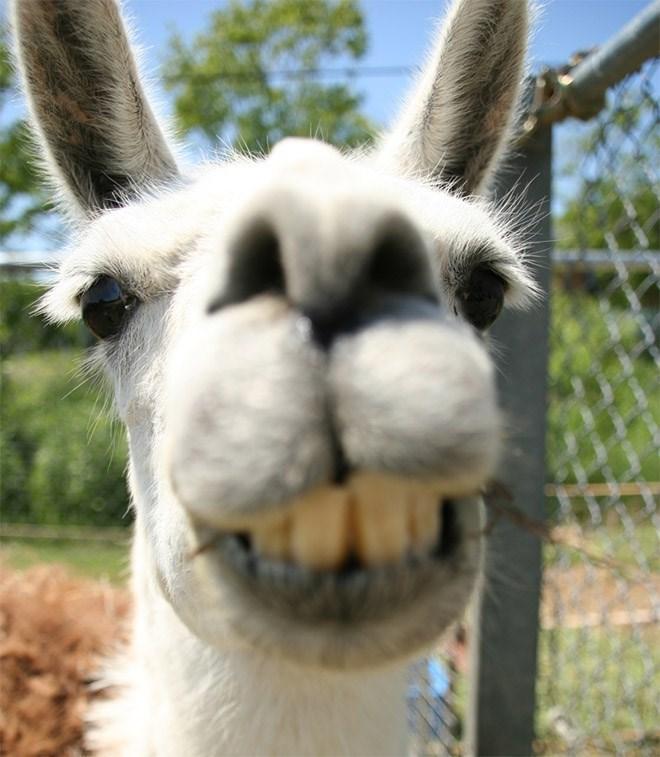 llama derp - Mammal