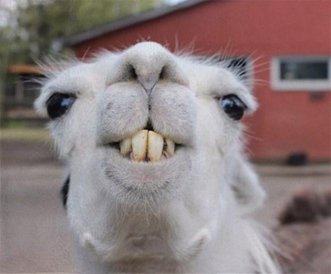 llama derp - Vertebrate