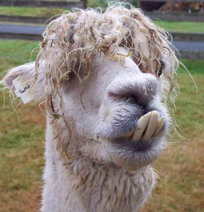 llama derp - Llama - CA