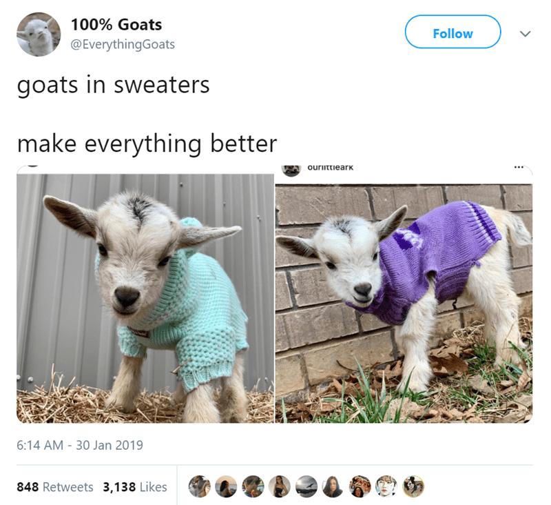 goats - Goats - 100% Goats Follow @EverythingGoats goats in sweaters make everything better ourittieark 6:14 AM -30 Jan 2019 848 Retweets 3,138 Likes