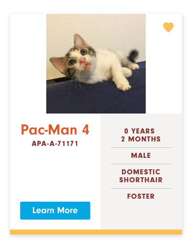 funny cat name - Cat - Pac-Man 4 O YEARS 2 MONTHS APA-A-71171 MALE DOMESTIC SHORTHAIR FOSTER Learn More