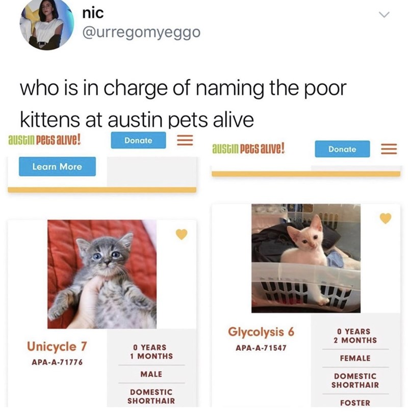 funny cat name - Cat - nic @urregomyeggo who is in charge of naming the poor kittens at austin pets alive austin pets auve! Donate austin Pets alive! Donate Learn More Glycolysis 6 O YEARS 2 MONTHS Unicycle 7 O YEARS 1 MONTHS APA-A-71547 FEMALE APA-A-71776 MALE DOMESTIC SHORTHAIR DOMESTIC SHORTHAIR FOSTER