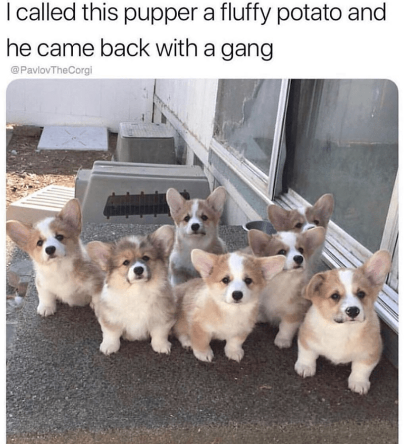 Dog - I called this pupper a fluffy potato and he came back with a gang @PavlovTheCorgi