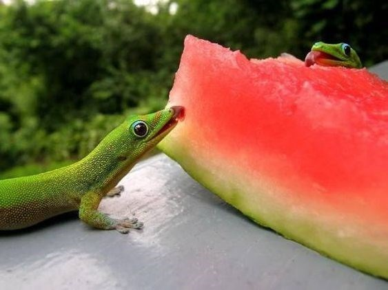 animals eating watermelons - Green
