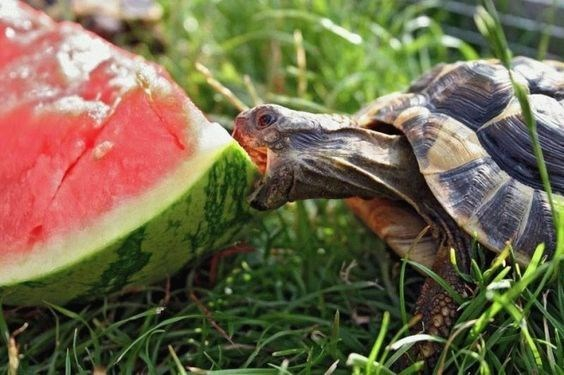 animals eating watermelons - Turtle