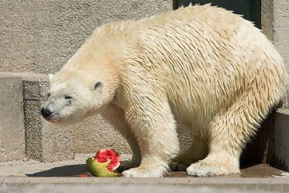 animals eating watermelons - Vertebrate