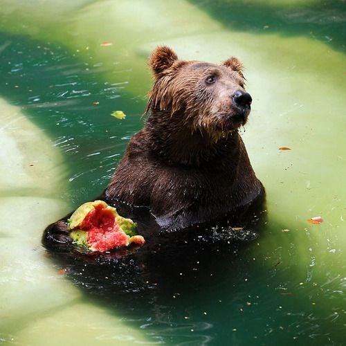 animals eating watermelons - Brown bear