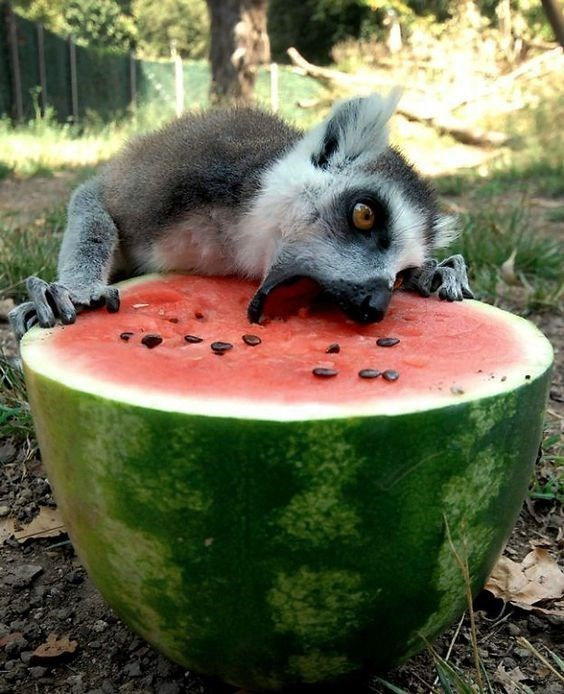 animals eating watermelons - Watermelon
