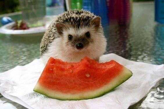 animals eating watermelons - Hedgehog