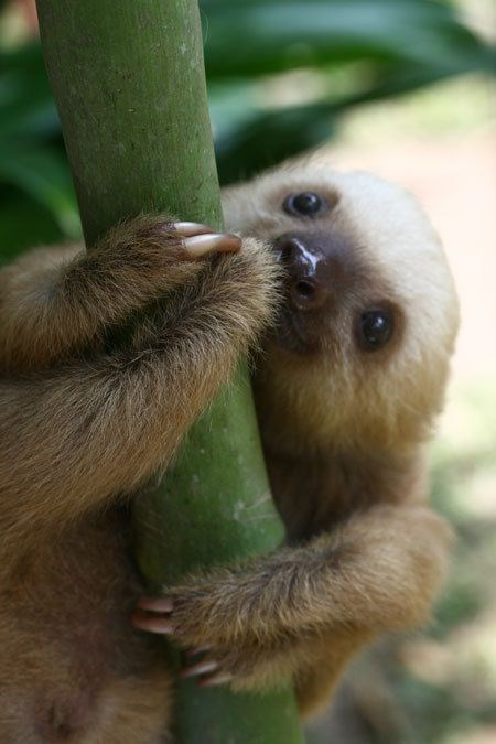 baby sloth - Vertebrate