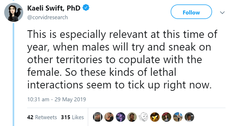 Text - Kaeli Swift, PhD Follow @corvidresearch This is especially relevant at this time of year, when males will try and sneak on other territories to copulate with the female. So these kinds of lethal interactions seem to tick up right now. 10:31 am 29 May 2019 42 Retweets 315 Likes