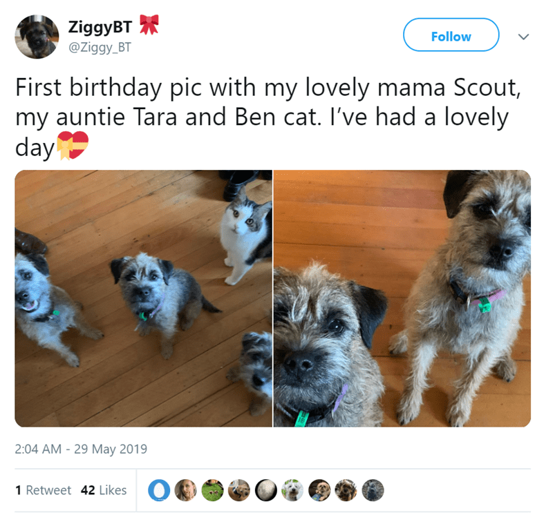 Dog breed - ZiggyBT @Ziggy_BT Follow First birthday pic with my lovely mama Scout, my auntie Tara and Ben cat. I've had a lovely day 2:04 AM 29 May 2019 1 Retweet 42 Likes