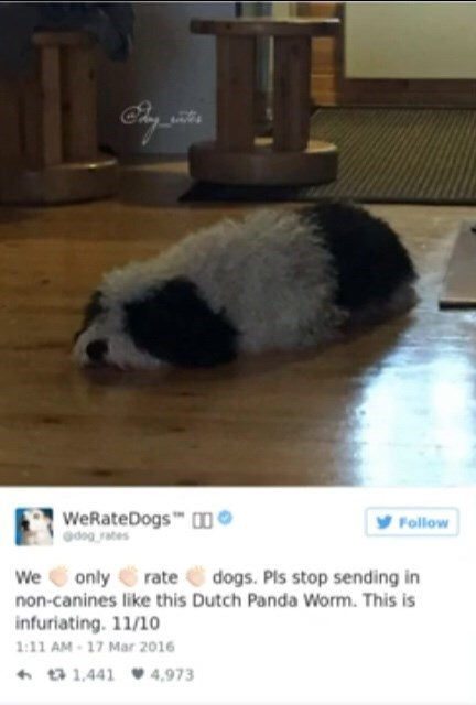 Guinea pig - WeRateDogs0 dogrates Follow We only non-canines like this Dutch Panda Worm. This is dogs. Pls stop sending in rate infuriating. 11/10 1:11 AM-17 Mar 2016 t1,4414,973