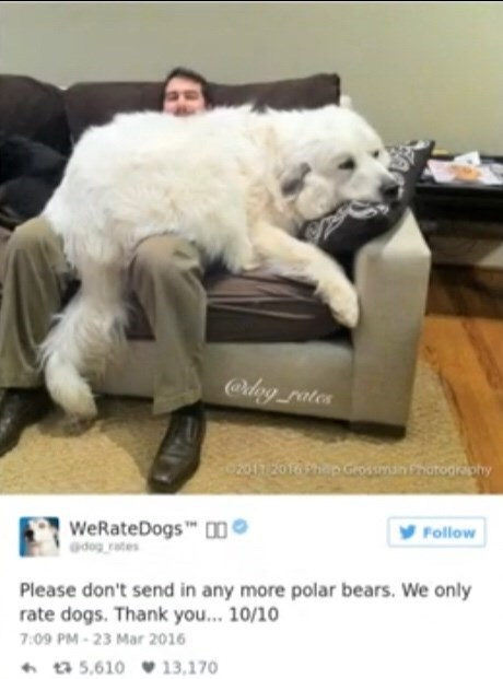 Canidae - @lny rates 02017 2016 hapGrossmn Photogiaphy WeRateDogs O Gdog rates Follow Please don't send in any more polar bears. We only rate dogs. Thank you... 10/10 7:09 PM-23 Mar 2016 5,610 13,170