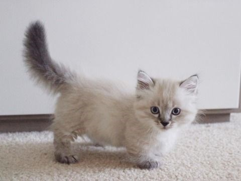fluffy white and gray munchkin cat with its tail in the air