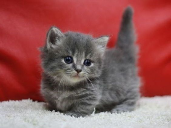 Small grey munchkin cat with its tail standing straight