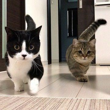 two munchkin cats walking toward the camera