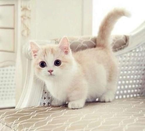 white and cream colored munchkin cat with round eyes