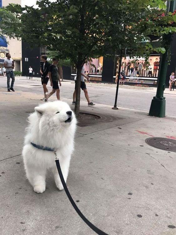 fluffy white - Dog - MIRA