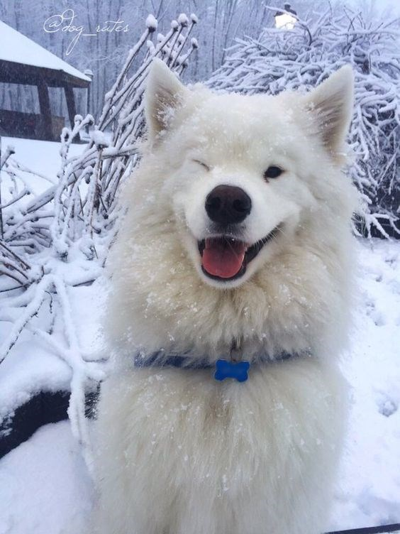 fluffy white - Dog - tes
