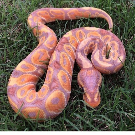 snake with beautiful colors or orange and pink mixed in donut patterns