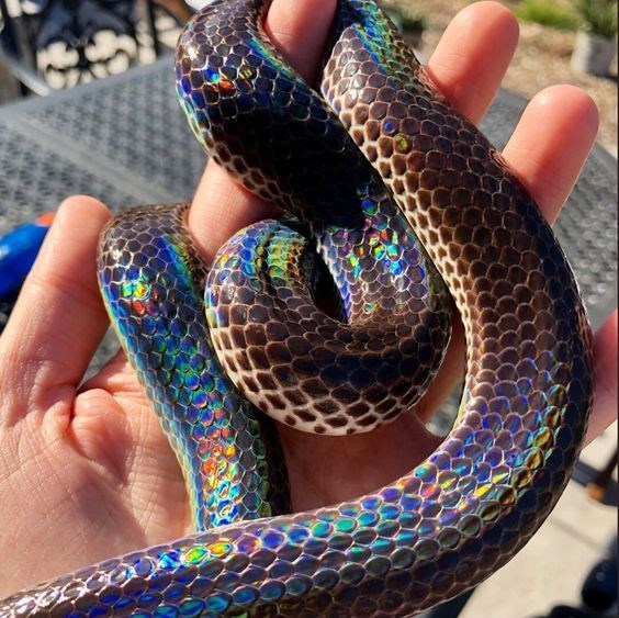snake danger noodle that is very rainbow colored in its refractive reflection off the snake's scales