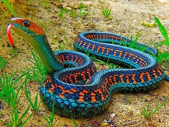 Python snake on the ground with his beautiful colors and patterns and forked tongue out to taste the air as snakes do