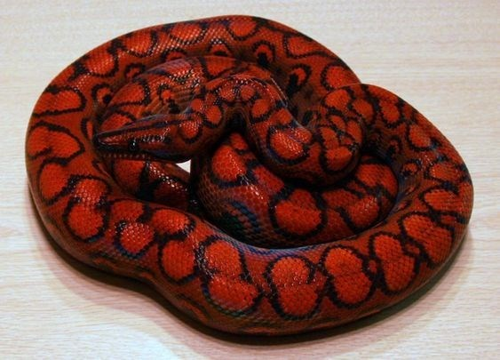 Red snake with mitosis patterns all coiled up