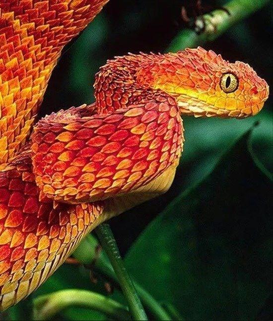 red bush viper snake being all snek