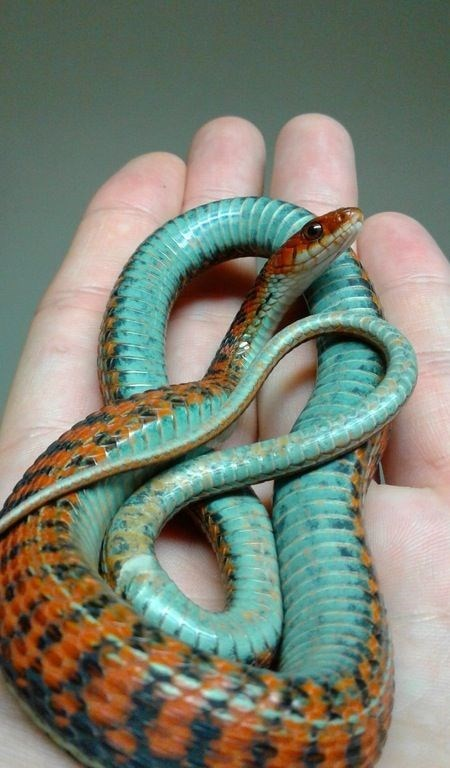 tame little snake with beautiful orange blue and black patterns