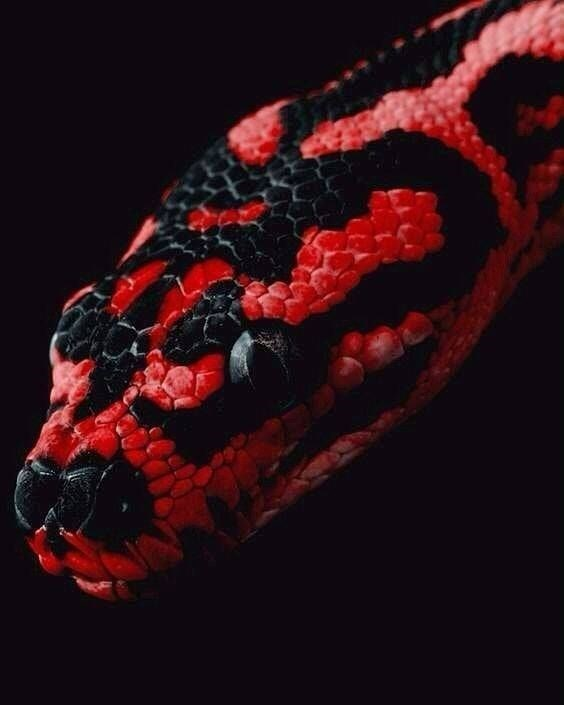 head of a snake that is red and black