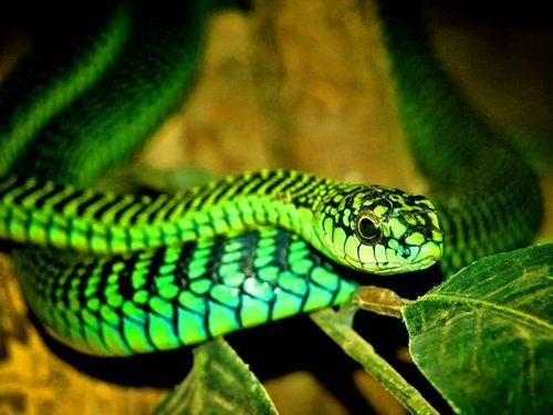 green snake ready to attack