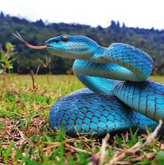 attacking blue snake